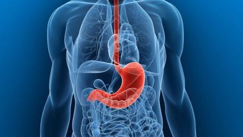 Схема расположения желудка